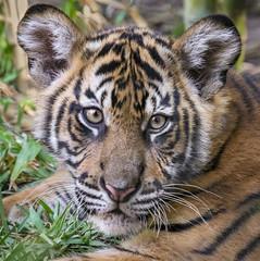 Tiger Boy (Penny Hyde) Tags: babyanimal bigcat cub safaripark sumatrantiger tiger tigercub flickrbigcats