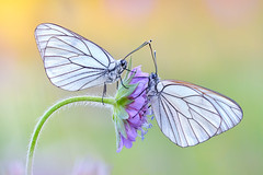 Baumweißlinge (Aporia crataegi) (MichaSauer) Tags: macro butterfly papillon stacking makro schwarzwald blackforest blackveinedwhite 150mm aporia crataegi tagfalter gazé grootgeaderdwitje weisling baumweisling