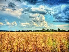 Sound of Thunder, How far off I wondered (clarkcg photography) Tags: corn cornfield harvesttime harvest clouds rain lighting thunder wonder howfaroff breeze nikon nikoncoolpixp510 oklahoma northeastoklahoma arkansasriverdeltafarming sky summer front