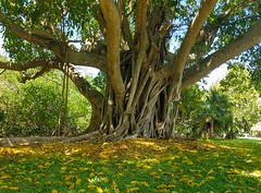 Summer Colors (Helen) Tags: miami florida banyan tree garden tropical trunk