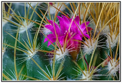Macro - Nature - Flowers - Cactus - The Tiny (One Centimetre) and Beautiful Flower of the Pincushion Cactus. (Bill E2011) Tags: nature flowers cactus mexico beautiful colour color floweringcanon mammillaria zeilmanniana macro