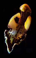 orchid (Allan Saw) Tags: flower petals stamen high contrast extensiontube macro