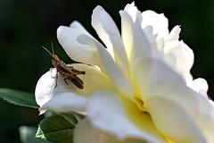 In the shadow of petals (Vadim Tsymbalyuk) Tags: flower rose closeup canon petals outdoor 14 grasshopper 50 zuiko 6d