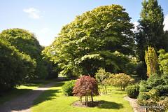 """Acer palmatum """"Dissectum """" (mcgrath.dominic) Tags: japanesemaple dissectum acerpalmatum trees fotaarboretum cocork"""