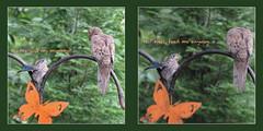 begging fledgling (mimbrava) Tags: fledglingbluebird bluebird mourningdove mosaic arr allrightsreserved mimeisenberg mimbrava mimbravastudio