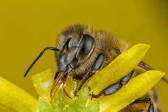 Hungry Bee (affectatio) Tags: macro mpe65 bug insect bee honeybee 6d canon6d focusstack zerene