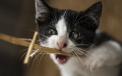 Playful (mirrerensen) Tags: cat playing mom kitten kitty eyes whiskers cute animal farm hay