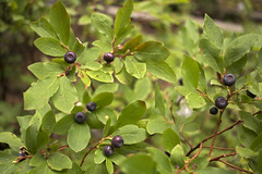 Huckleberry Harvest (s_jenkV2) Tags: mission mountains mountain range montana swan seeley valley approach piper basin lakes ducharne summer season 2016 backpack trip hiking explore adventure forest nature wild wilderness huckleberry bush camp camping fire campfire canon 70d