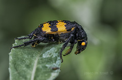 nicrophorus sp. (Josep M.Toset) Tags: animalia arthropoda coleoptera catalunya insecta baixcamp bosc cam nicrophorinae nikon macro d800 josepmtoset groc negre verd plantes silphidae