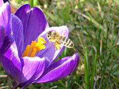 pink crocus with bee (Mc Steff) Tags: pink spring crocus lila bee blume blte krokus biene frhling 2015