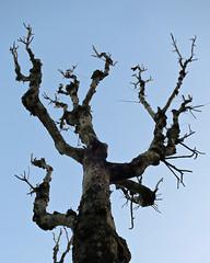 Twisted Tree of Itaewan (Mondmann) Tags: sky tree contrast asia dusk branches bluesky korea seoul trunk southkorea twisted rok eastasia republicofkorea itaewan mondmann canonpowershots120