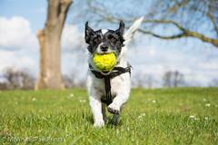 Nibbler at Palmer Park (Mr Whites Paw Prints) Tags: dog running jackrussell nibbler palmerpark