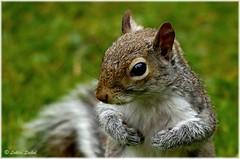 The Newcomer II (lukiassaikul) Tags: nature animals fauna rodent squirrel urbanwildlife wildanimals wildlifephotography