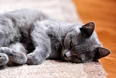Sophie (Alessandro__78) Tags: cat nikon sophie felino gatto 70200 f28 certosino