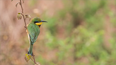 Little Bee Eater (Raymond J Barlow) Tags: africa travel green yellow wildlife adventure workshop littlebeeeater phototours raymondbarlowphototours