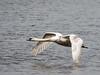 Swan in flight (John P Norton) Tags: bird fauna swan bif birdinflight shutterpriority f48 11250sec focallength183mm lumixgvario100300f456 olympusem1 copyright2015