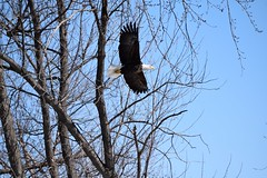 DSC_0727 (HOTPEPPERGYRL) Tags: mississippiriver eagles