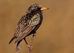 Starling (Severnrover) Tags: uk bird starling sparkle perched