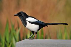 Pega-rabuda - Common Magpie - Pica pica (Yako36) Tags: bird belgium bruxelles ave birdwatching beersel tc14e nikonafs300f4 nikond300 parcfrankveld