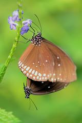 Butterfly love (Rene Mensen) Tags: brown butterfly nikon purple nikkor dieren drenthe emmen noorderdierenpark dierentuin dierenpark d5100