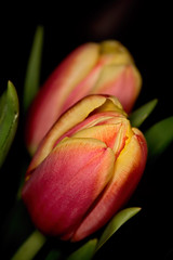 Red Yellow Tulips Opening 38 (Tjerger) Tags: winter red plant black flower macro green leaves yellow closeup wisconsin stem pair tulip bloom opening