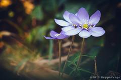 Fiori di prato (beppeverge) Tags: flowers primavera nature natura fiori magical dreamland springtime caneto beppeverge samsungnx3000