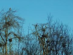 The Heronry, Kenmore, Washington (teresue) Tags: heron washington pacificnorthwest wa kenmore greatblueheron 2015 heronry