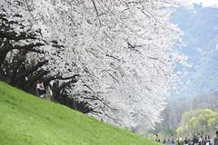 DSC03802 (yuibb123) Tags: kyoto   cherryblossom sakura