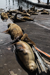 Seals hanging out in the sun (Gunter Heimlich) Tags: ocean california flowers beach nature beautiful beauty marina monterey sand rocks 101 highway1 beaches seals pacificgrove highway101 saltwater loverspoint ca1