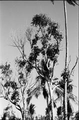 Lanzones Trees (je245) Tags: fuji philippines laguna rodinal liliw 125 acros100 lanzones langsat leicam3 leicasummicron50mmf20rigid