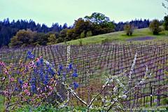 Springtime Vineyards, Russian River Valley (lhg_11, 2million views. Thank you!) Tags: california northerncalifornia rural vineyard blossoms winery sonomacounty hillside multicolored winecountry healdsburg westsideroad portercreekvineyards
