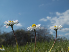 Tres eran tres (Patataasada) Tags: flowers flores primavera daisies three spring abril daisy april margarita tres margaritas greatphotographers a3b