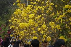 Golden Trumpet Tree (ddsnet) Tags: plant flower sony cybershot    goldentrumpettree tabebuiachrysotricha rx10    yellowpui