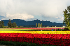 Skagit Valley tulip time (wacamerabuff) Tags: flower washington spring farm tulip skagit