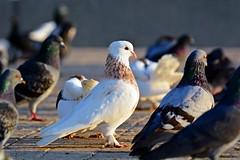 Contrast (Sanjiban2011) Tags: sunlight white bird birds contrast freedom nikon pigeon pigeons pride corniche tamron doha qatar whitepigeon d7100 tamron70200