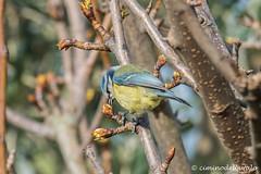 Cinciarella | Cyanistes caeruleus | Blue tit (Ciminus) Tags: birds garden wildlife uccelli bluetit cyanistescaeruleus cinciarella naturesubjects nikond810 afsnikkor80400vr