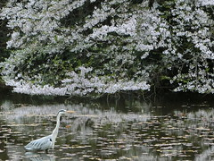 Grey Heron (Jet Daisuke) Tags: bird  cherryblossom  greyheron