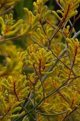 Kangaroo paw like Sunshine (finwyal) Tags: australia australianflora kangaroopaws