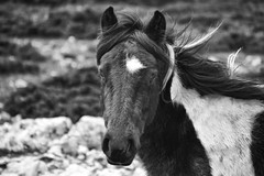 Little one (TheLionPo) Tags: portrait blackandwhite bw horse mountain animals caballo countryside blackwhite spain eyes animales montaa animalplanet potro foal