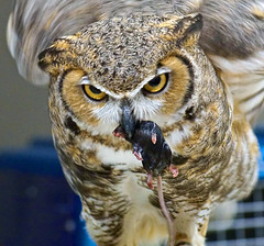 Mickey Learns About the Circle of LIfe (the hard way) (Scott M. Mohn) Tags: nature birds animal eyes sony mice tufts raptors owls greathornedowl carnivore universityofminnesota ilca77m2
