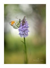 ................................................. (.... belargcastel ....) Tags: espaa macro butterfly spain galicia orquidea mariposa helios dactylorhiza anthochariscardamines belargcastel belnargeso