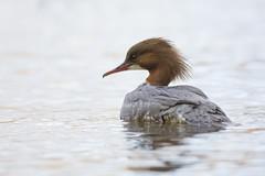 Female Goosander (Birdmanjag) Tags: bird nature water female wildlife loch lochlomond goosander