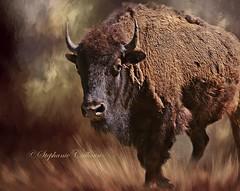 Female Buffalo (Stephanie Calhoun Photography) Tags: tatonka stephaniecalhoun femalebuffalo