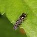 Neoascia sp. (Syrphidae)