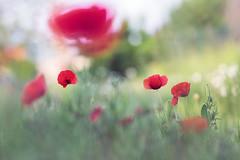 Poppie (Thomas Vanderheyden) Tags: red flower nature floral fleur rouge flora bokeh ngc fujifilm printemps coquelicot flore picardie poppie naturesfinest xt1 thomasvanderheyden