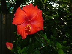 mother's day 2016 on galveston island,    hibiscus 5-16 (nolehace) Tags: sanfrancisco red plant galveston flower island spring day texas tx mothers hibiscus bloom tejas 2016 516 nolehace fz35