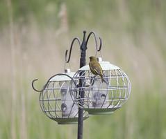 IMG_8402 (Mal.Durbin Photography) Tags: nature birds fauna wildlife insects naturereserve newportwetlands maldurbin goldcliffnewport