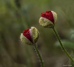 Eran dos (Anpegom fotografa) Tags: red rojo amapolas