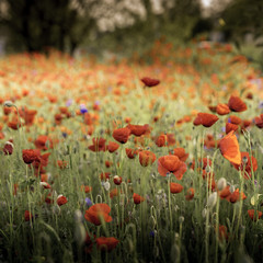 Coquelicot (speedy-67) Tags: red flower color fleur canon rouge poppy 5d camps couleur coquelicot carr
