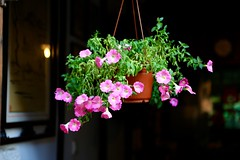 (Arnaud999) Tags: china flower fleur asia asie wuzhen watertown chine zhejiang